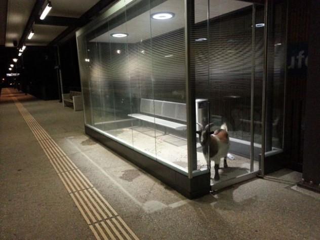 Simpatična koza mirno čekala voz B_130105038