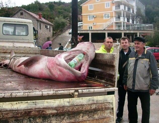 Lakičevići uhvatili ajkulu tešku 500 kilograma B_130110125