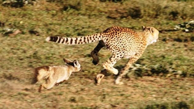 Hrabre lisice se odbranile od geparda B_130321073