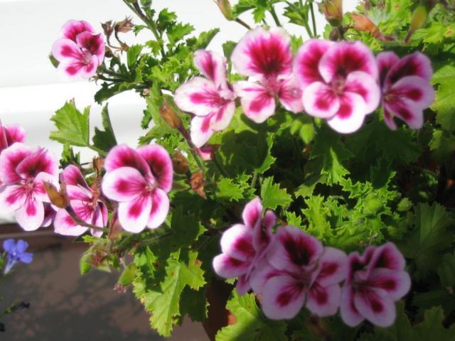 MUSKATLE I DEO Pelargonia-angielska_2296_352