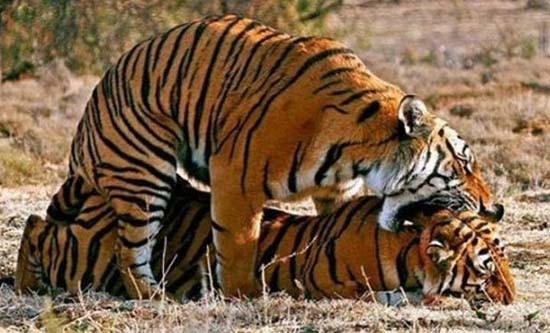 Le Meraviglie della Natura Tigri-che-si-amano