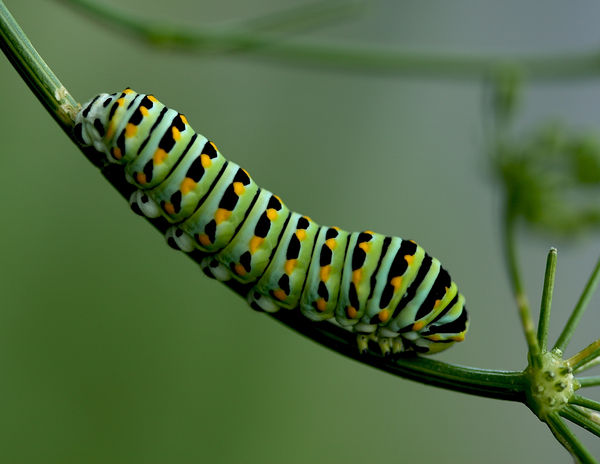 Any Strange and Wonderful Visitors? Photos please! Thumb-1377185091413-green_black_swallowtail__papilio_polyxenes__larva_on_parsley__anethum_gravens__residence_garden_anne_arundel_county_md_usa_9_viii_2010_img_4259
