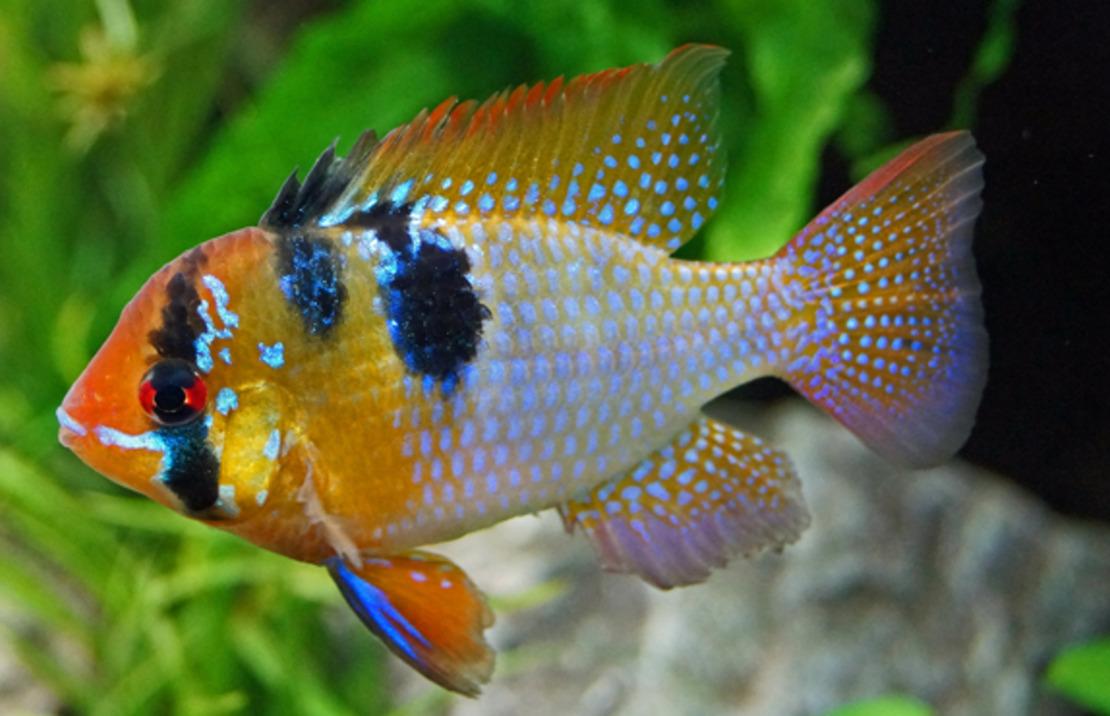 [ARTICLE] Quels poissons mettre dans un Nano-Aquarium  ? - Page 2 125c9d_314f1692858343bd9939f6e8b2b9b1c8