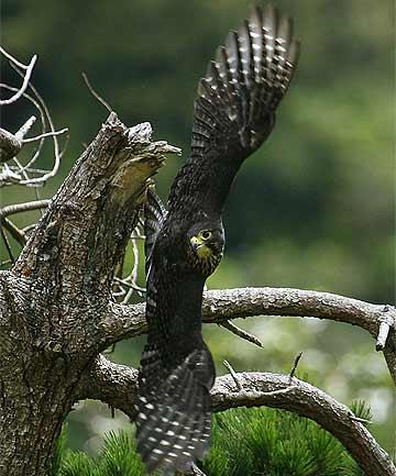Falconiformes. sub Falconidae - sub fam Falconinae - gênero Falco - Página 2 4504231