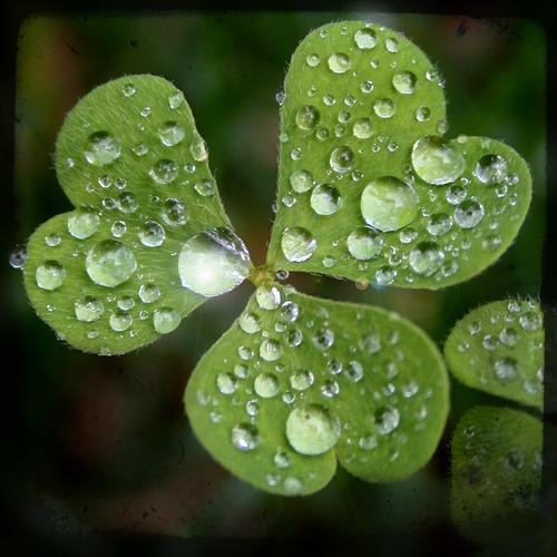 Bon Lundi Three-leaf-clover-in-rain