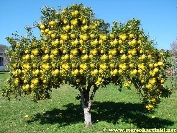 гороскопдруидов - Магические свойства деревьев. Магия деревьев. Деревья в магии. Stereokartinka-Greipfrut