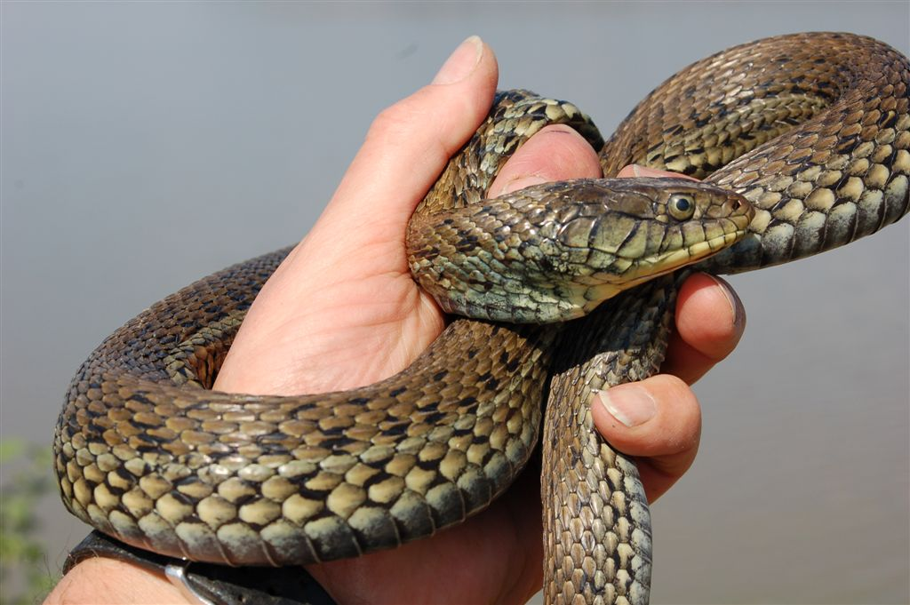 Thamnophis gigas ? Thamnophis-eques-scottii-Lago-Magdalena-Jalisco-Mexico-1
