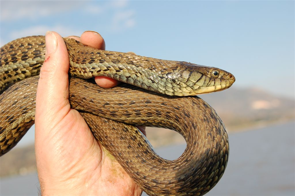 Thamnophis gigas ? Thamnophis-eques-scottii-Lago-Magdalena-Jalisco-Mexico-2