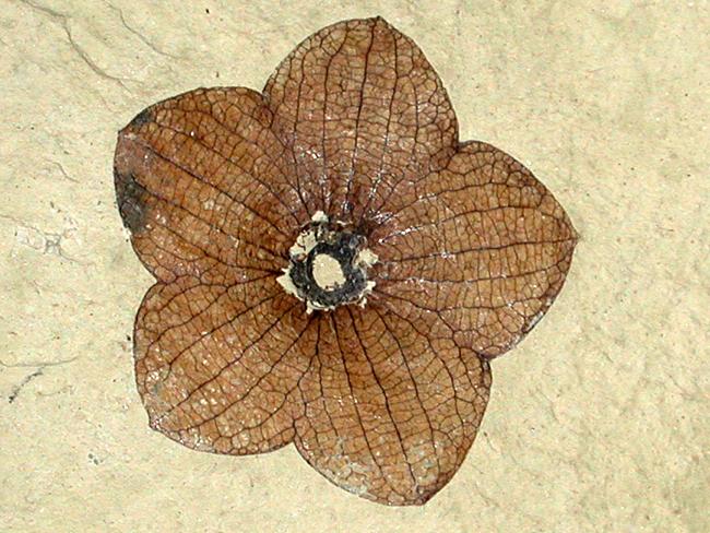 Fosili Slide-show-fossil-rose