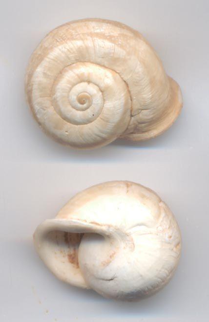 escargot marocain subfossile 48214254