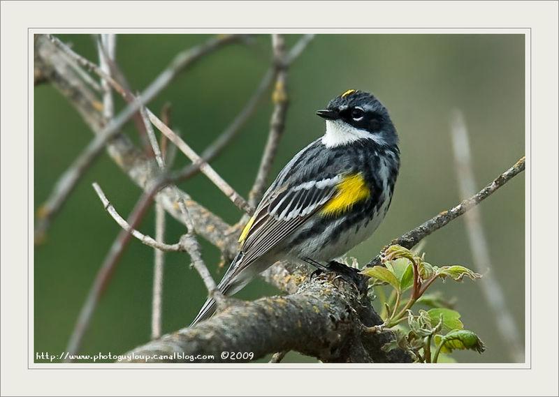 poème-----   oiseau paruline  39617493