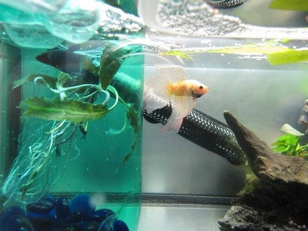 Ma Repro de Betta [En Photos!] 39717684