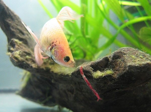 Ma Repro de Betta [En Photos!] 39353067