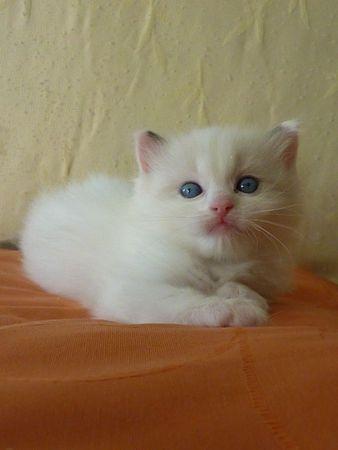 Les 4 chatons de Sausalito's Aconcagua - Page 11 67985520_p