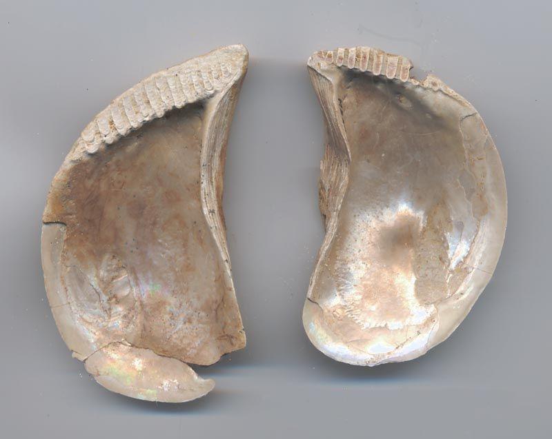 Perna lamarcki (Deshayes, 1830) 47682502