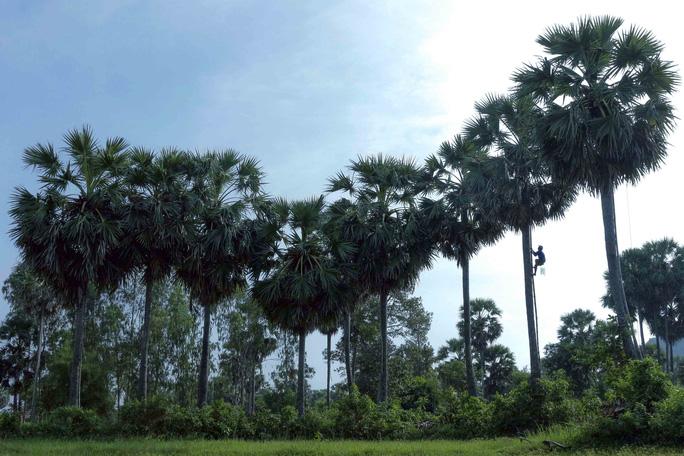 Loài cây kỳ lạ ở miền Tây cho ra thứ thạch ăn mát cũng lạ kỳ Loai-cay-ky-la-o-mien-Tay-cho-ra-thu-nuoc-thach-cung-ky-la-cay-thot-not-an-giang-1-1582194416-width684height456