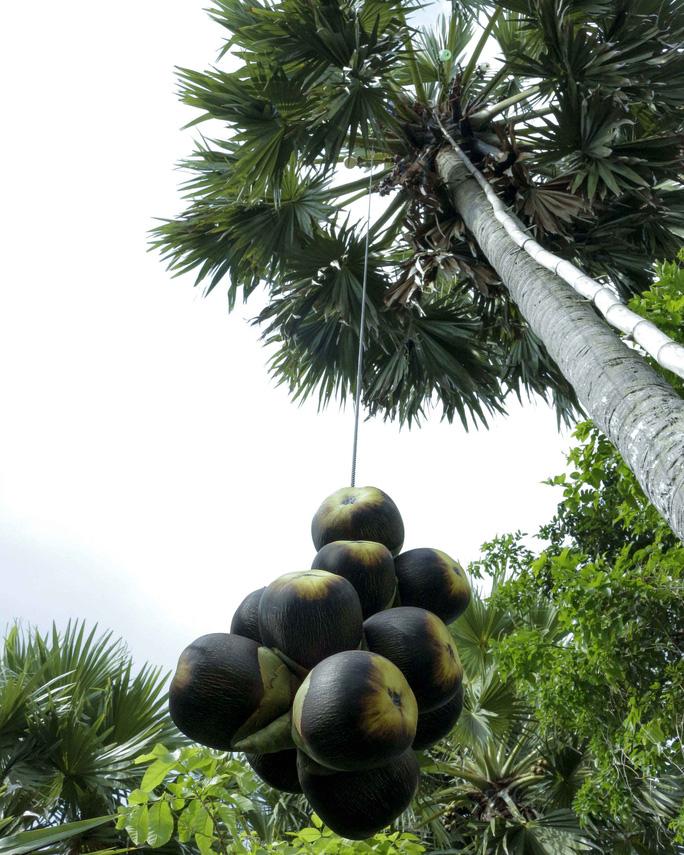 Loài cây kỳ lạ ở miền Tây cho ra thứ thạch ăn mát cũng lạ kỳ Loai-cay-ky-la-o-mien-Tay-cho-ra-thu-nuoc-thach-cung-ky-la-cay-thot-not-an-giang-2-1582194416-width684height855
