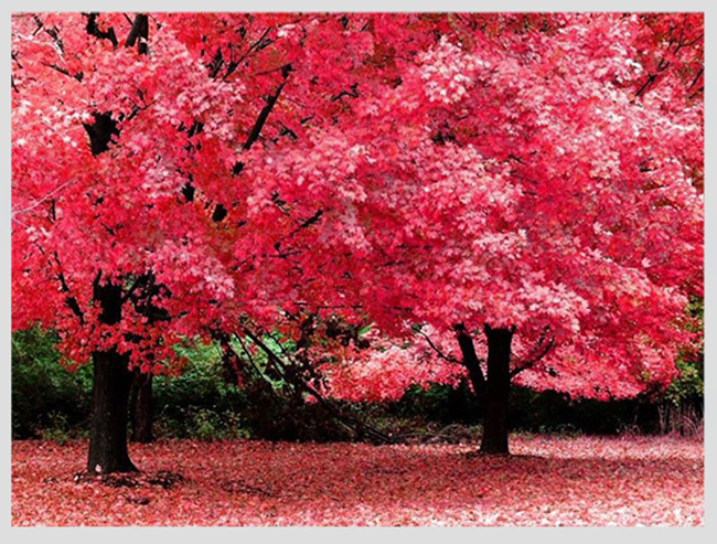 """Mê mẩn ngắm những mùa cây thay lá """"long lanh"""" nhất thế giới 7-1539422949-width650height493"""