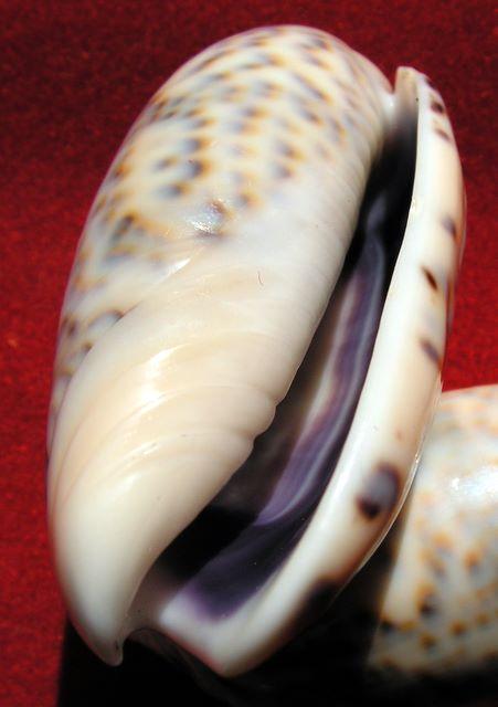 Annulatoliva annulata intricata (Dautzenberg, 1927) - Worms = Oliva mantichora intricata Dautzenberg, 1927 Olicaemad15