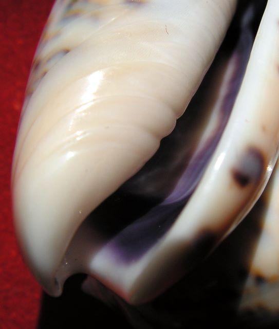 Annulatoliva annulata intricata (Dautzenberg, 1927) - Worms = Oliva mantichora intricata Dautzenberg, 1927 Olicaemad16