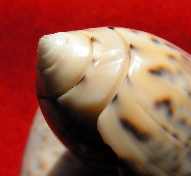 Annulatoliva annulata intricata (Dautzenberg, 1927) - Worms = Oliva mantichora intricata Dautzenberg, 1927 Olicaemad19