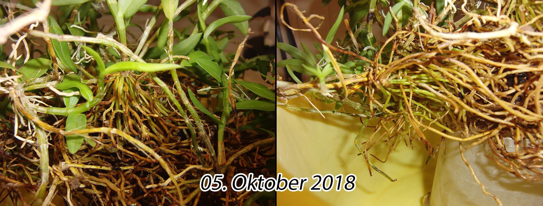 Dendrobium loddigesii 2018-10-05-loddigesii03