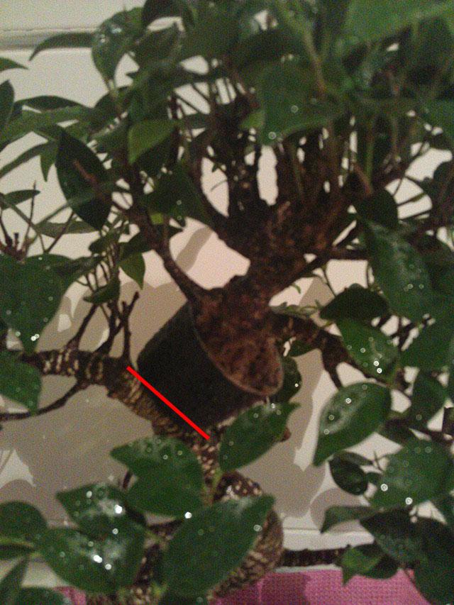 Evolución Ficus Retusa Arx1368550496x