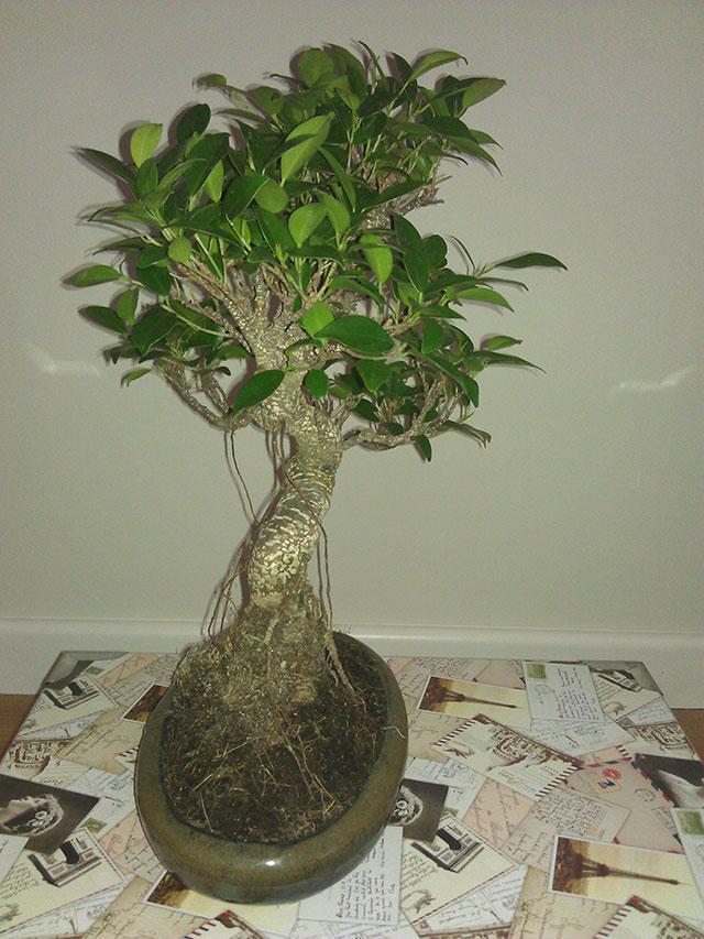 Evolución Ficus Retusa Bfi1368549940y