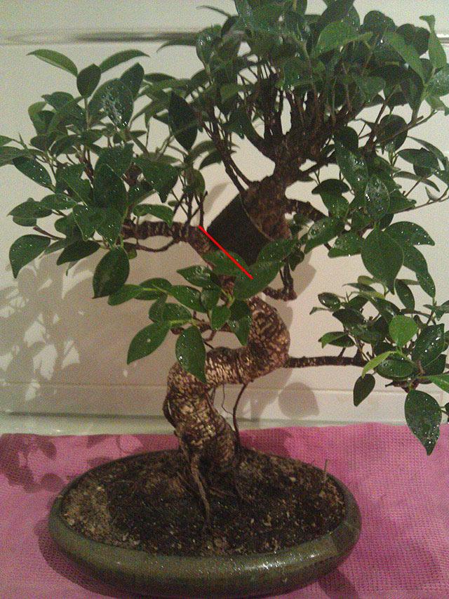 Evolución Ficus Retusa Bfi1368550513l