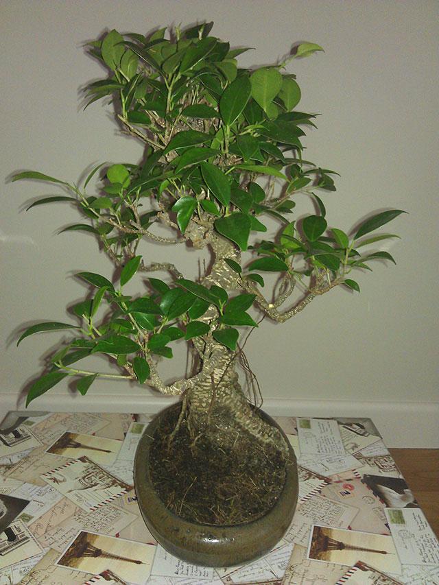 Evolución Ficus Retusa Cqs1368549995r