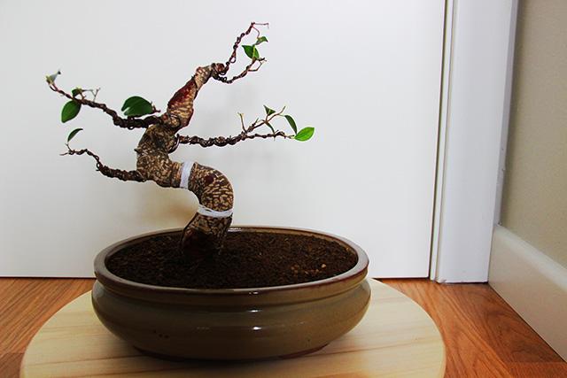 Evolución Ficus Retusa Jdv1368550862m