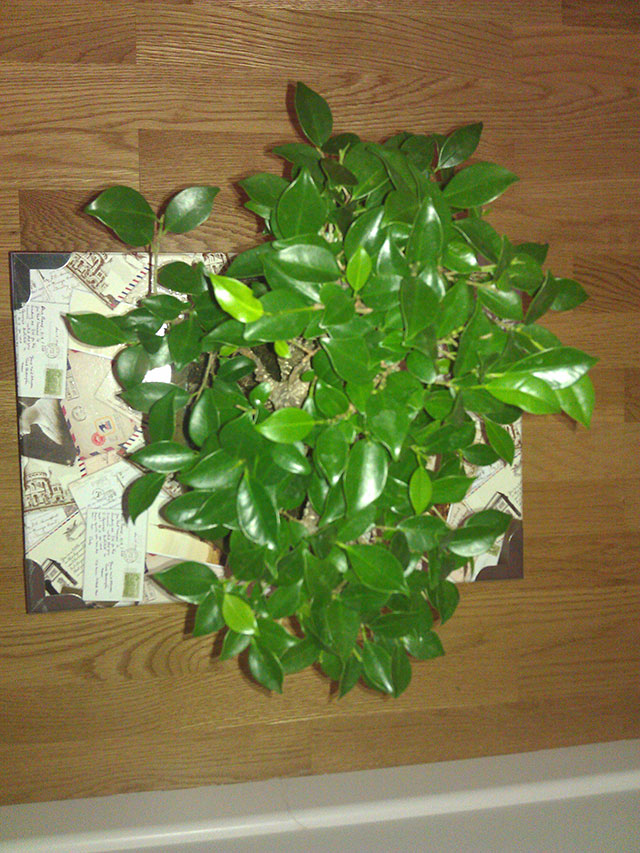 Evolución Ficus Retusa Opt1368550012x
