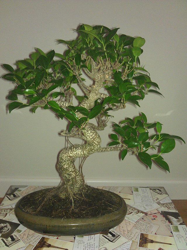 Evolución Ficus Retusa Rgh1368549916b