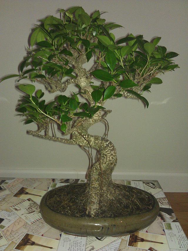 Evolución Ficus Retusa Rgh1368549955m