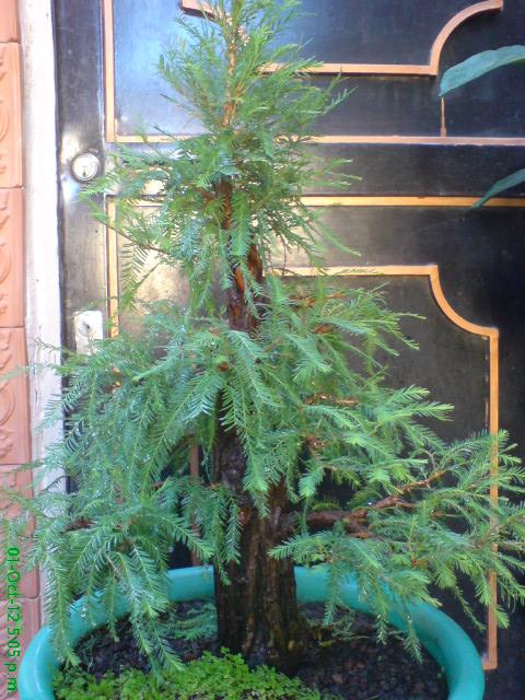mi primer taxodium mucronatum (Ahuehuete) Arx1350841018e