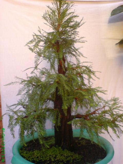 mi primer taxodium mucronatum (Ahuehuete) Jdv1350841160u