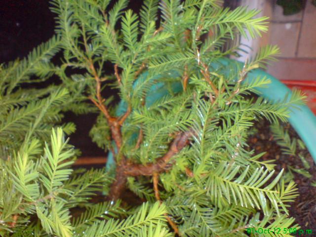 mi primer taxodium mucronatum (Ahuehuete) Rgh1350841126b