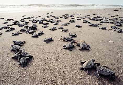After The Largest Beach Clean Up In History Baby Turtles Returned To The Beaches Of Mumbai Kemps-ridley-sea-turtle