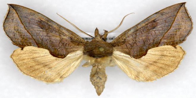 las mariposas vampiro: ¡ se alimentan de sangre! Calyptra_thalictri-vi-e1319545242595_660x330