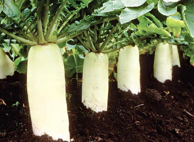 Выращивание дайкона Peterburgskiy