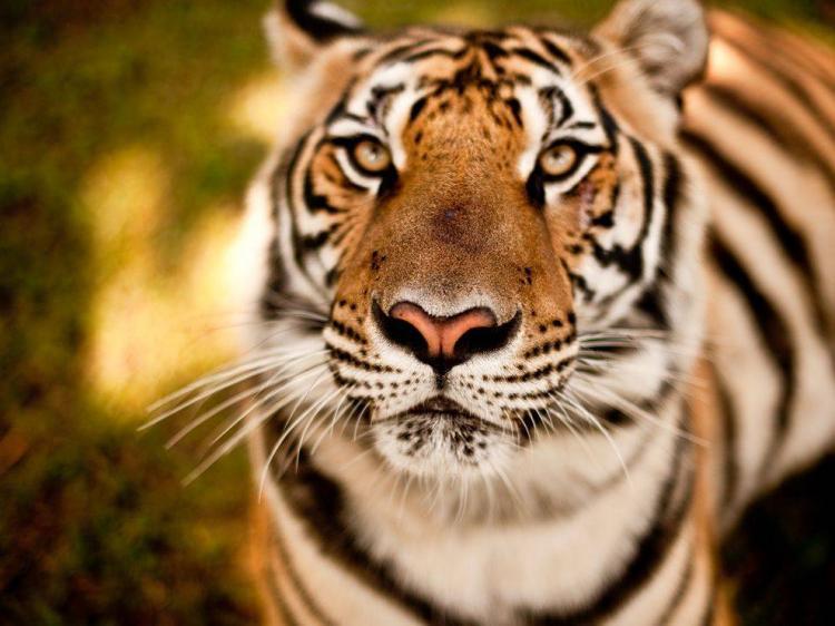 Forumaš iznad u liku životinje - Page 3 Slike_Zivotinja_Slike_Raznih_Zivotinja_Tigar_2