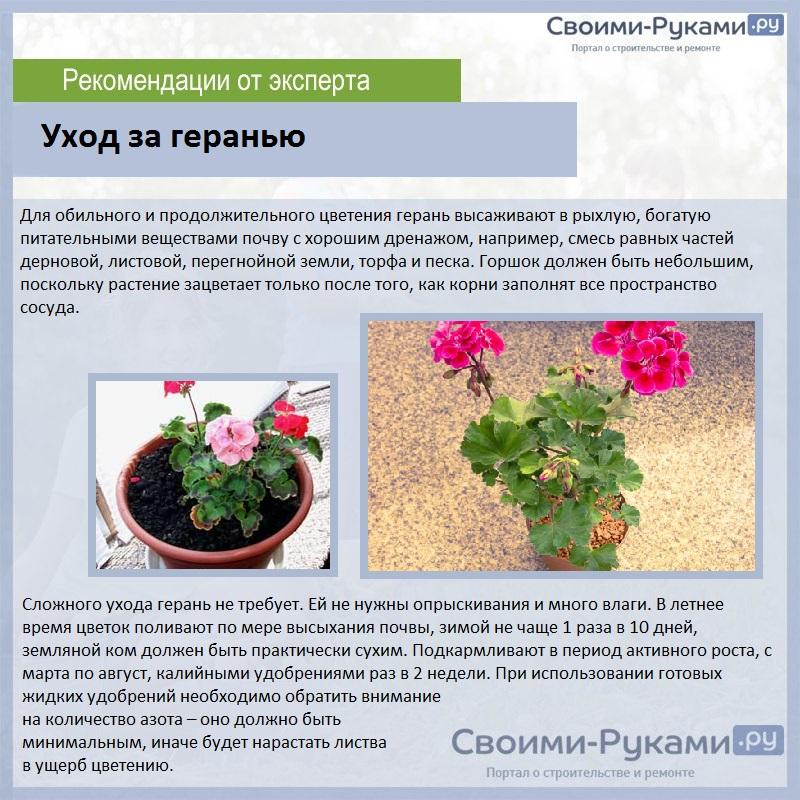Пеларгония (Герань) - Страница 2 OR0Gq2r08m8-55