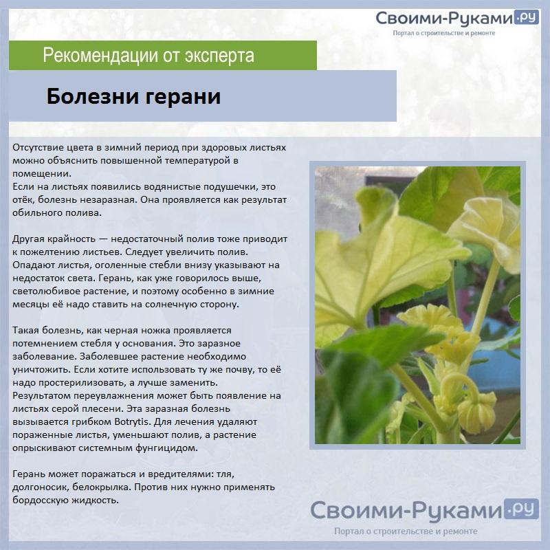 Пеларгония (Герань) - Страница 2 OR0Gq2r08m8-62