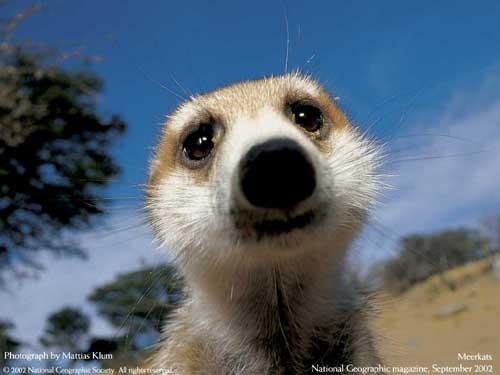حيوان الميركات Meerkat-face