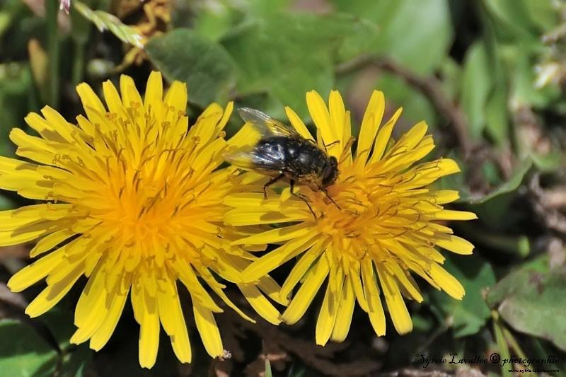 Mouche sur fleur Dsc_4861-2-800-s