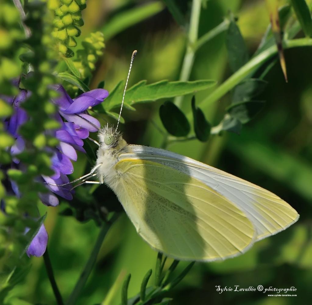 Papillon Dsc_2145-2-1024-s