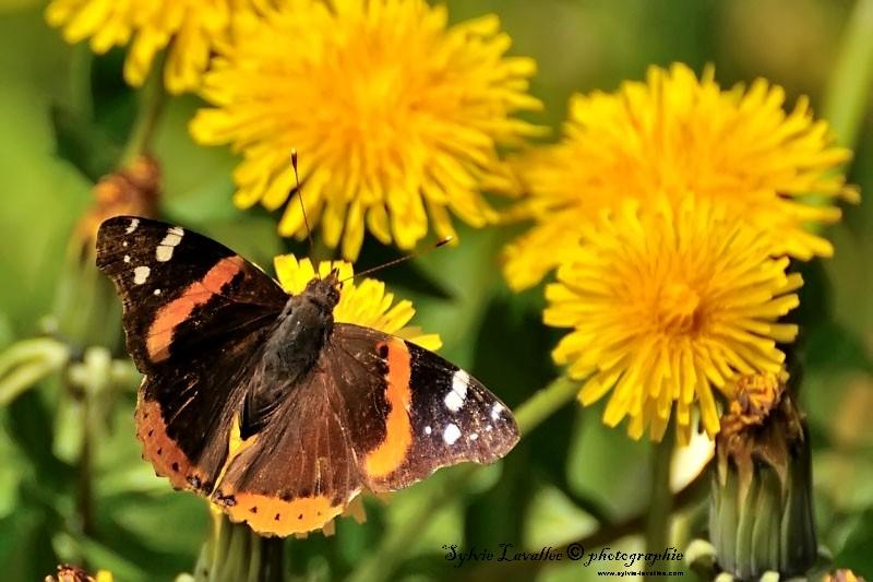 Papillon Vulcain Dsc_5106-2-800-s