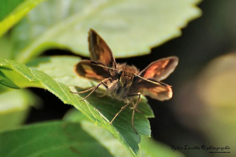 Petite papillon Dsc_5686-2-800-s
