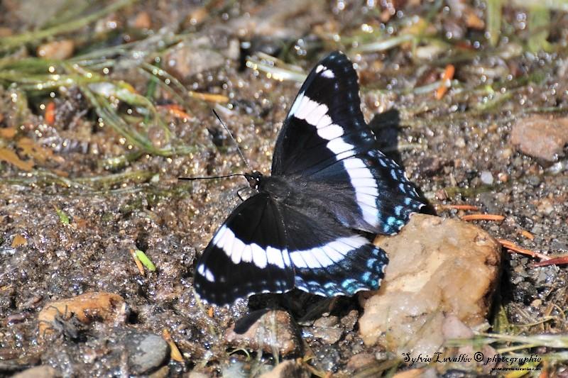 Papillon Dsc_6041-2-800-s