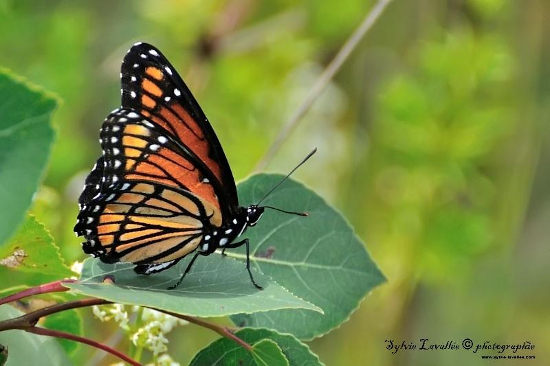 papillon Dsc_6973-2-800-s